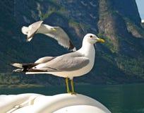 Bra seende seagull i natur royaltyfri foto