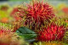 Bra tid i organisk rambutanlantgård i rayong Royaltyfri Bild
