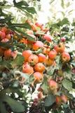 Bra tillväxt av äpplen på ett träd arkivfoto