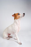 Braaf Hefboom Russell Terrier in Profiel Royalty-vrije Stock Foto's