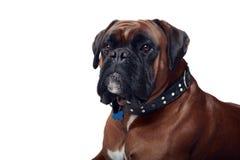 Braaf Hond Royalty-vrije Stock Afbeeldingen