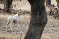 Braakakker Deers, Dama-dama, Spanje, zeldzaam wit stock afbeelding
