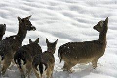 Braakakker-herten Stock Foto's