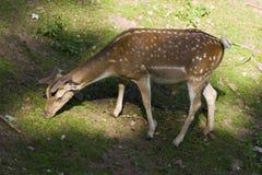 Braakakker-herten Royalty-vrije Stock Afbeeldingen
