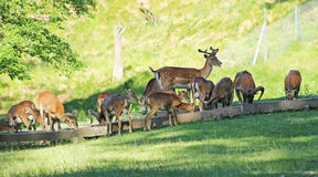 Braakakkerdeers en mouflons Royalty-vrije Stock Afbeeldingen