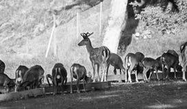 Braakakkerdeers en mouflons Stock Fotografie