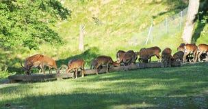 Braakakkerdeers en mouflons Royalty-vrije Stock Foto's