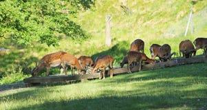 Braakakkerdeers en mouflons Stock Foto's