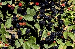 Braam met vruchten Stock Foto