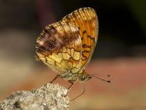 Braamparelmoervlinder,使有大理石花纹的贝母, Brenthis daphne 免版税图库摄影