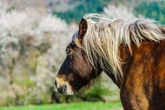 Brabancon belgian horse on the farmland, Alsace, France. Brabancon belgian horse on the farmland pasturage, Alsace, France Stock Photos
