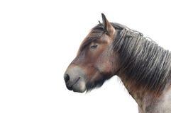 лошадь проекта brabant Стоковая Фотография