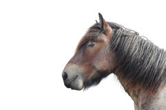 Brabant draft horse Stock Photography
