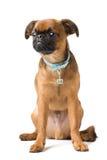 Brabant griffon puppy Stock Image