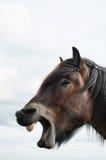 Brabant ontwerppaard Stock Afbeeldingen
