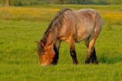 Brabantianpaard het weiden in een weide met gele wildflowers royalty-vrije stock foto's