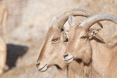 Brabary Sheep Portrait Stock Image