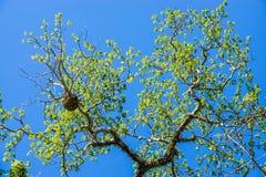 Brabch dell'albero sul cielo Immagine Stock Libera da Diritti