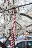 Braccialetto tradizionale della molla su un ramo sbocciante della ciliegia Fotografia Stock Libera da Diritti