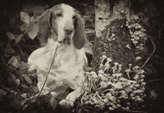 Bracco Italiano in forest. Vintage Stock Photography