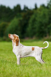 Bracco Italiano hunting dog standing in the field. Italian Pointer hunting dog standing in the field listening to his master Stock Images