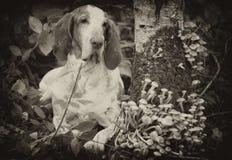 Bracco Italiano na floresta fotografia de stock