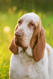 Bracco Italiano sitting in grass at summer sunset Stock Images