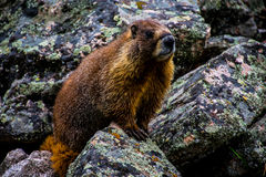 Brace Marmot Colorado High Country Royalty Free Stock Photos