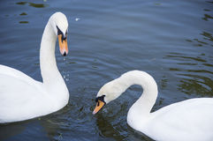 Brace white swans Royalty Free Stock Images