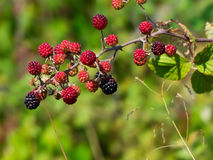 A brach of blackberries Stock Photography