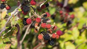 A brach of blackberries Royalty Free Stock Photos