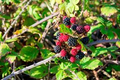 A brach of blackberries in september Royalty Free Stock Photos
