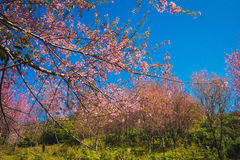 Brach of cherry blossom Royalty Free Stock Images