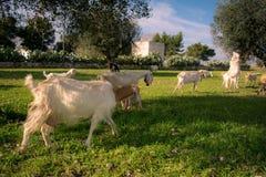 Brach delle capre che camminano nell'erba che mangia prima del tramonto dentro Fotografie Stock Libere da Diritti