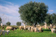 Brach Of Goats Walking In The Grass Eating From An Olives Tree. Before The Sunset In The Countryside Royalty Free Stock Images