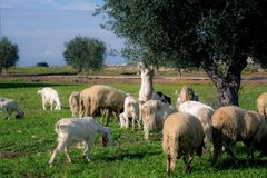 Brach Of Goats Walking In The Grass Eating From An Olives Tree B. Efore The Sunset In The Countryside Stock Images