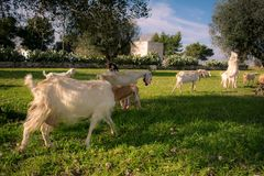Brach Of Goats Walking In The Grass Eating Before The Sunset In. Brach Of Goats Walking In The Grass Eating From An Olives Tree Before The Sunset In The Royalty Free Stock Photos