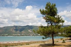 Brach of pine-tree. Pine-tree into Gelendgik bay Stock Photography
