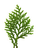 Brach of thuja Royalty Free Stock Image