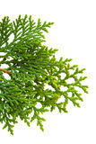 Brach of thuja Stock Images