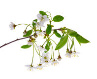 Brach with white cherry tree flowers Stock Photo