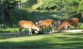 Brache deers Lizenzfreie Stockbilder