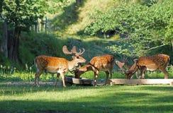Brache deers Stockbilder