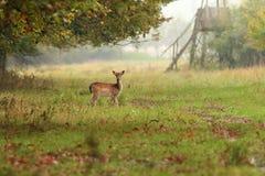 Bracherotwilddamhirschkuh im Wald lizenzfreie stockfotos