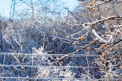 Braches gelados da árvore Fotografia de Stock
