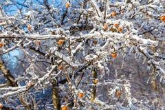Braches ghiacciati dell'albero Immagini Stock