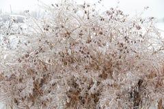 Braches ghiacciati dell'albero Immagine Stock Libera da Diritti