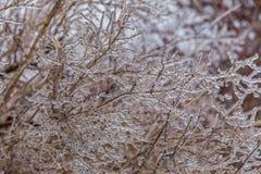 Braches ghiacciati dell'albero Fotografie Stock Libere da Diritti