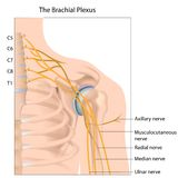 Brachial plexus. Nerve network of the arm and shoulder, eps10 Stock Photography