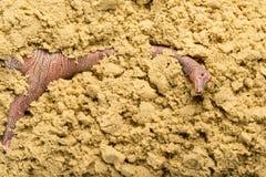 Brachiosaurus στην άμμο Στοκ φωτογραφίες με δικαίωμα ελεύθερης χρήσης